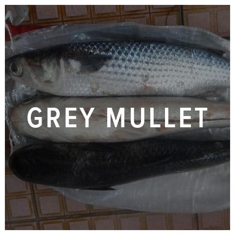 grey mullet