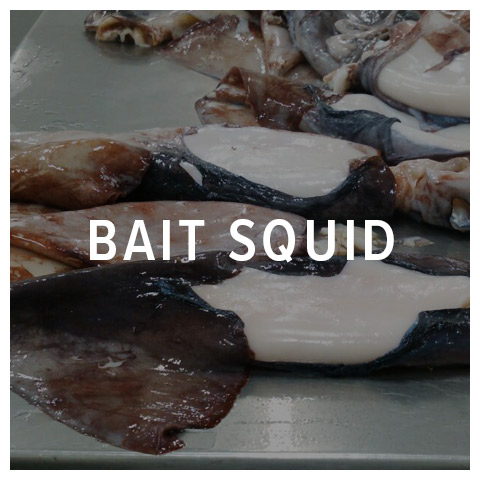 bait squid
