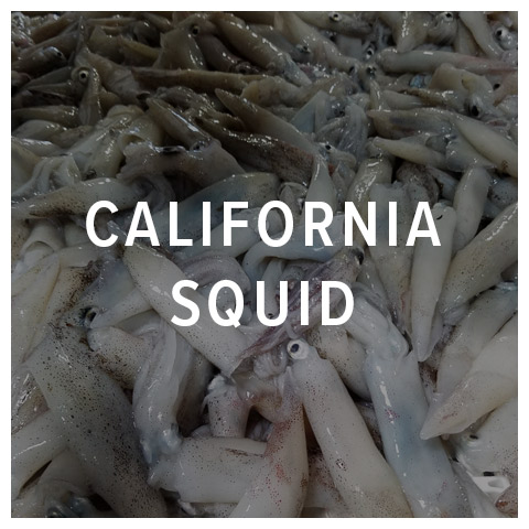 california squid