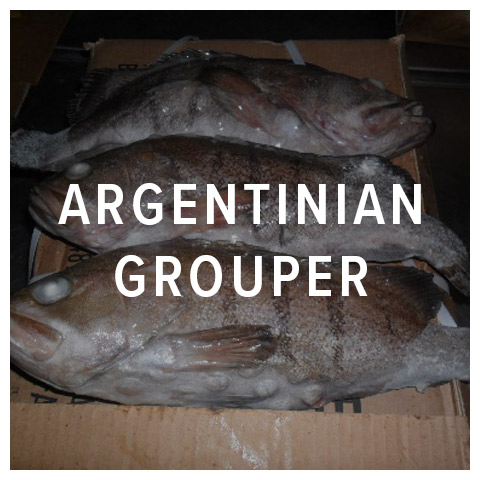 argentinian grouper