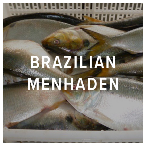 brazilian menhaden