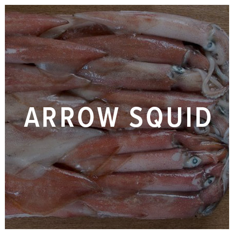 arrow squid cephalopod