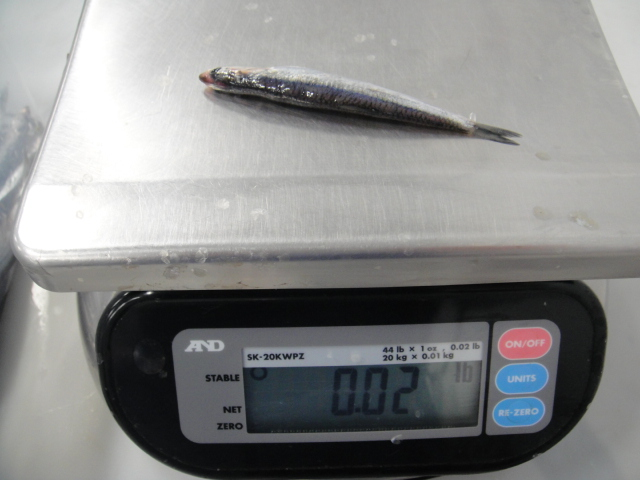 frozen Anchovies fillet on scale