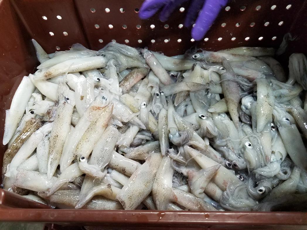 frozen California Squid box