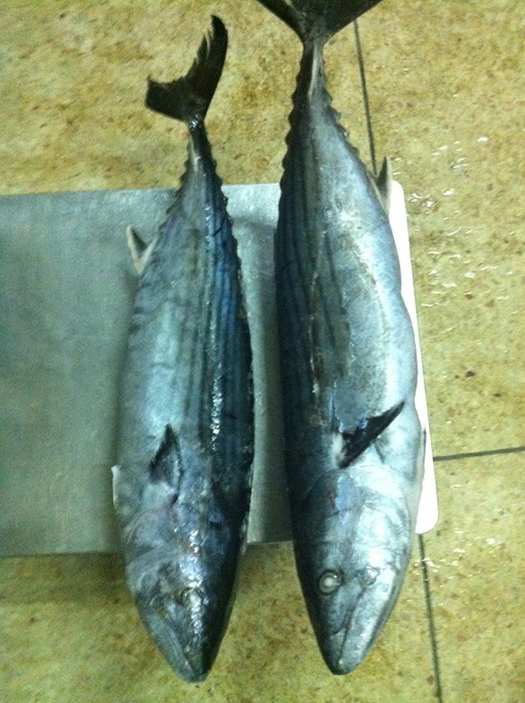 frozen Bonito fish fillets