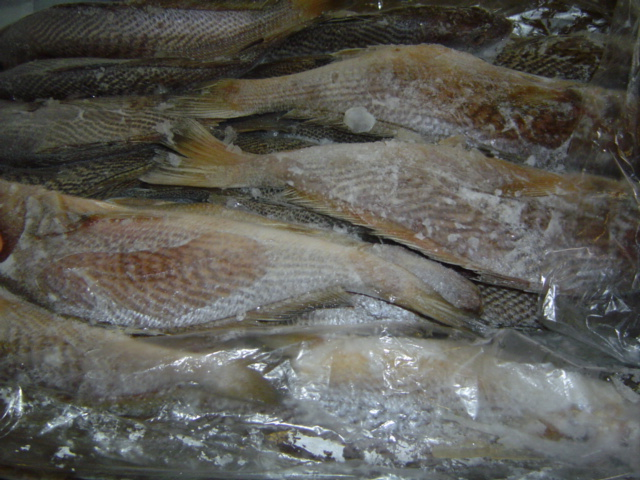 Yellow Croaker fillet on ice