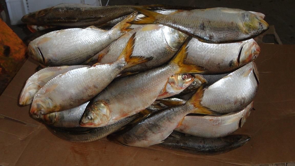Brazilian Menhaden fish for sale