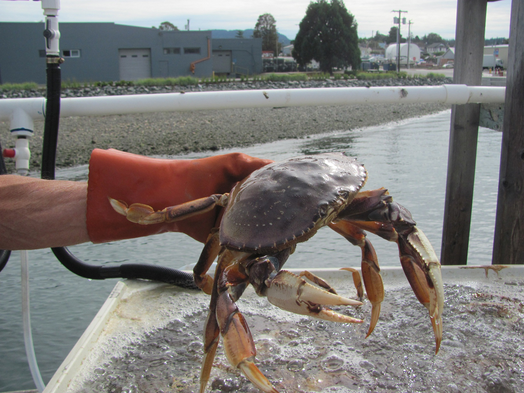 fresh Dungeness Crabs