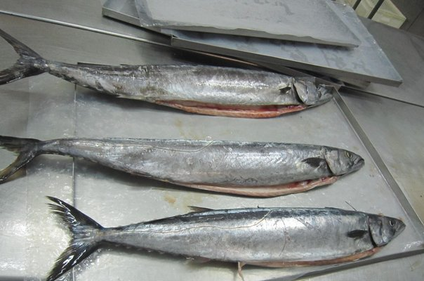 high quality frozen Gemfish