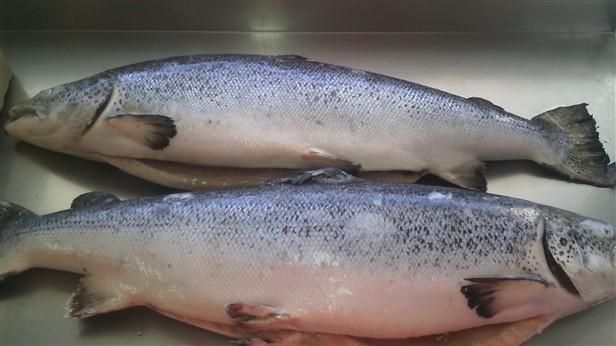 frozen altantic salmon fish