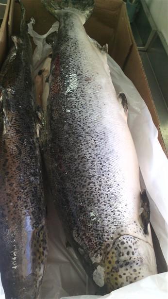 frozen altantic salmon fillet