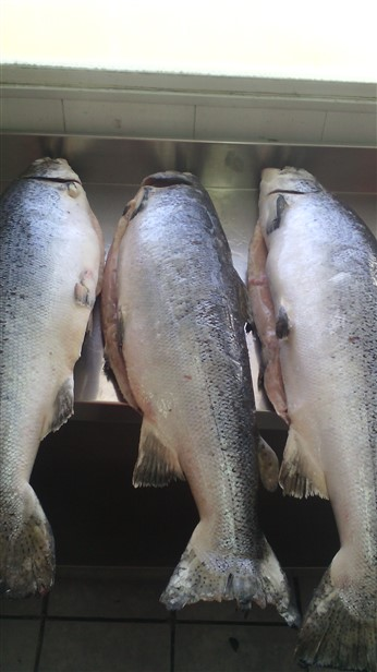 frozen altantic salmon for sale