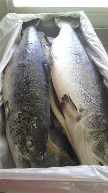 frozen altantic salmon sale