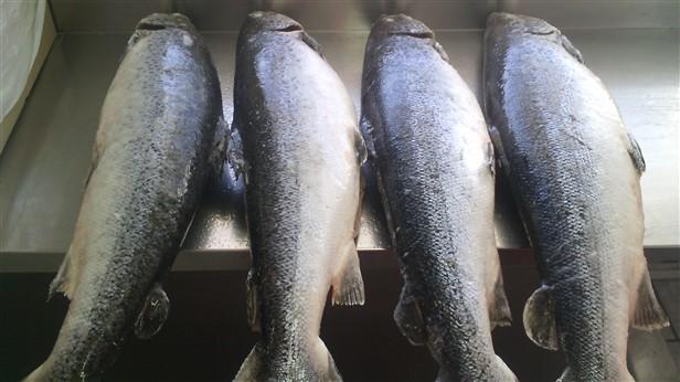 frozen altantic salmon