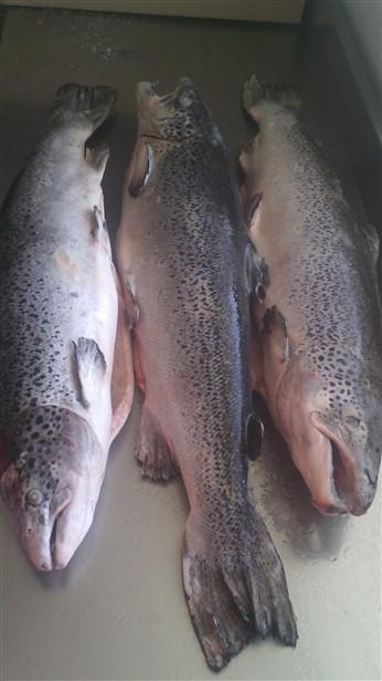 frozen altantic salmon fillets