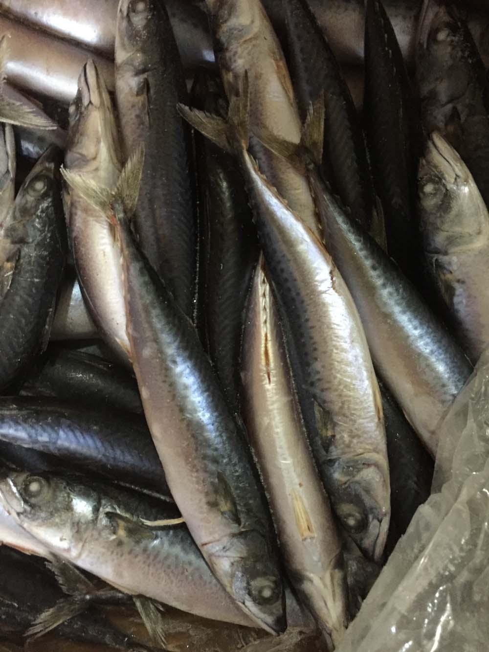 fresh Mackerel