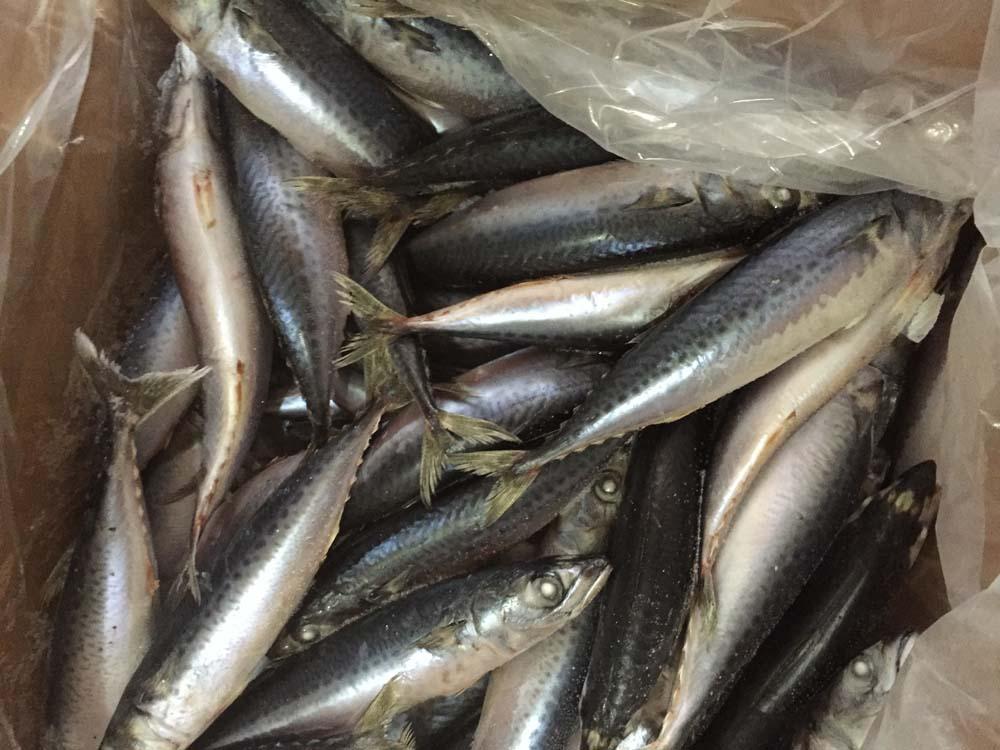 high quality Mackerel