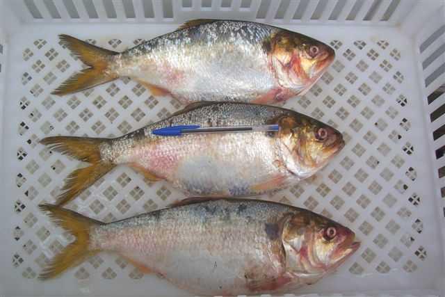 Brazilian Menhaden fish on ice
