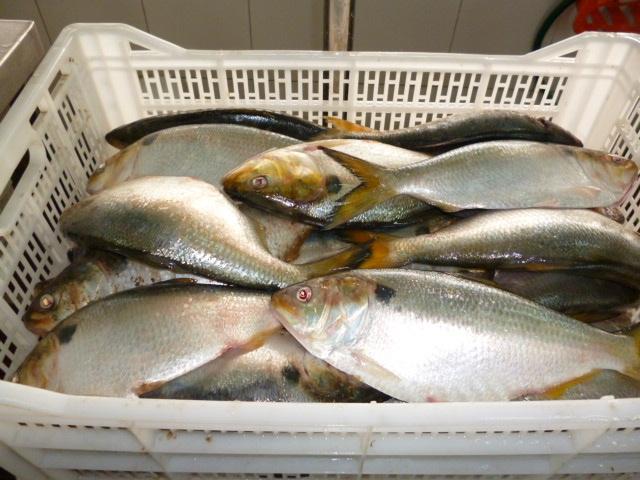Brazilian Menhaden fish fillets