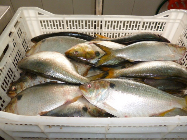 Brazilian Menhaden fish