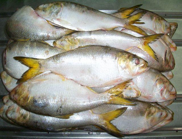 frozen Brazilian Menhaden fish