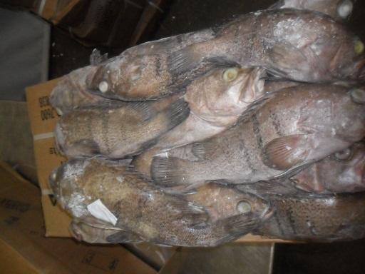 frozen Argentinian Grouper fish block