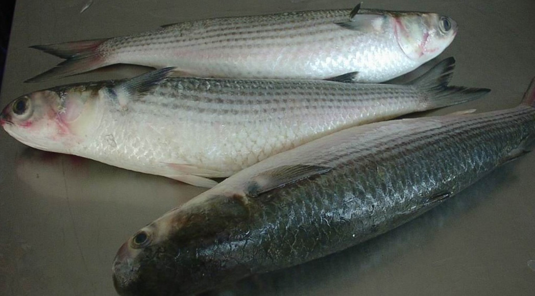 Grey Mullet fish for sale