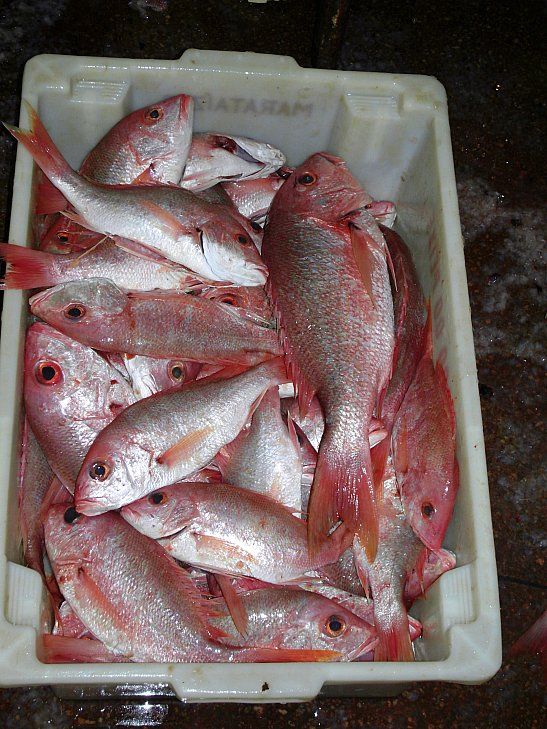 red snapper for sale