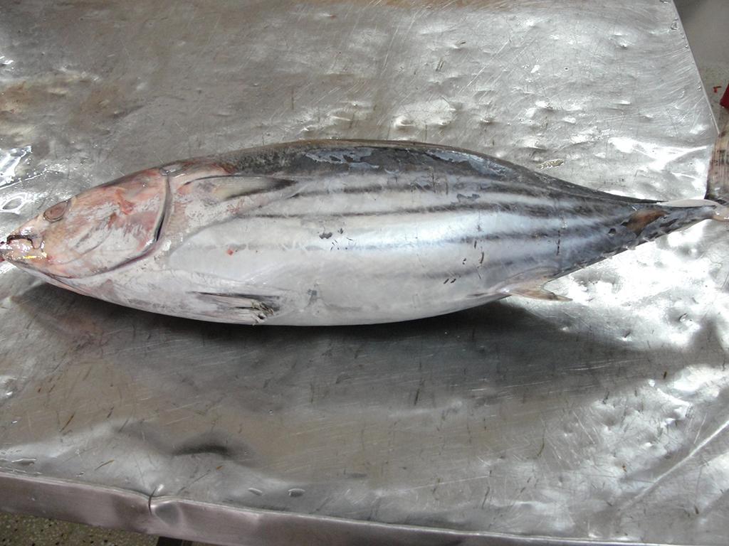 Skipjack Tuna fillet on ice