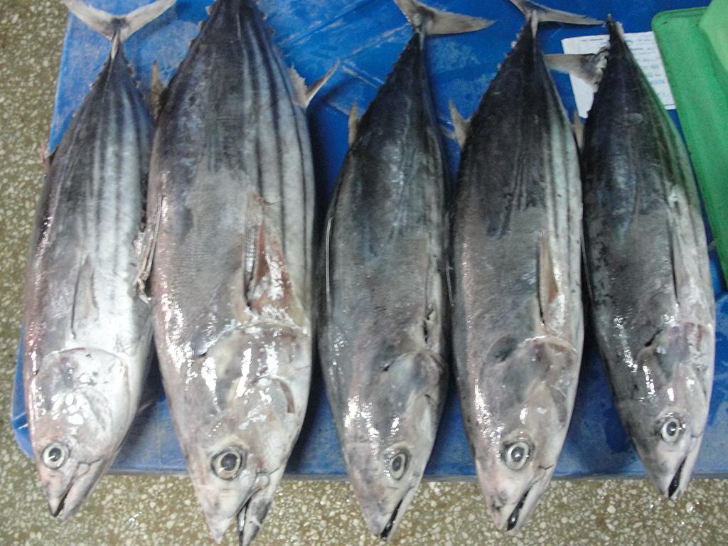 fresh Skipjack Tuna fillet