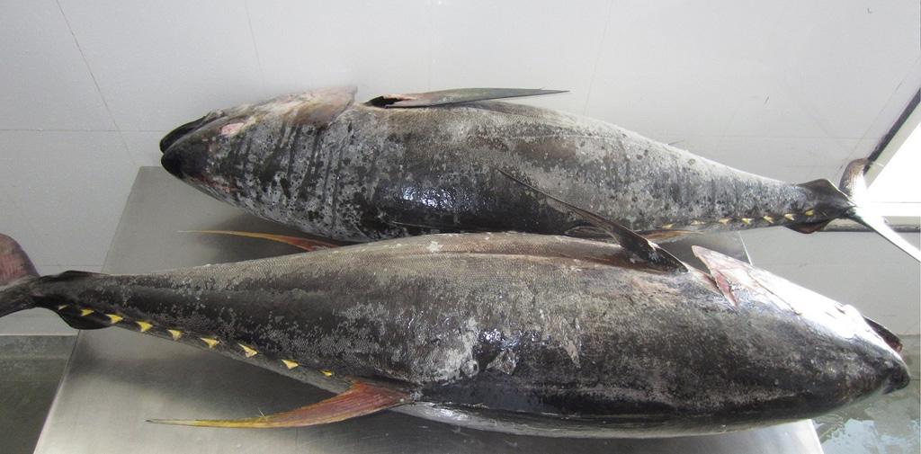 frozen Yellowfin Tuna fillets