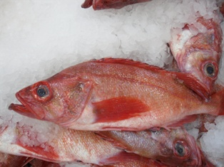 frozen pacific perch red fish on ice